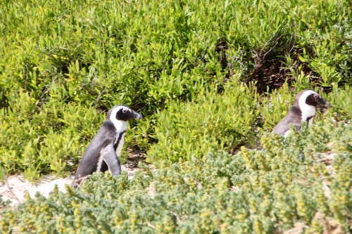 african-penguins-at-boulders-south-africa-cute-couple