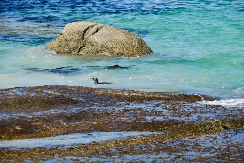 african-penguins-at-boulders-south-africa-turquoise-waters-of-the-atlantic-ocean