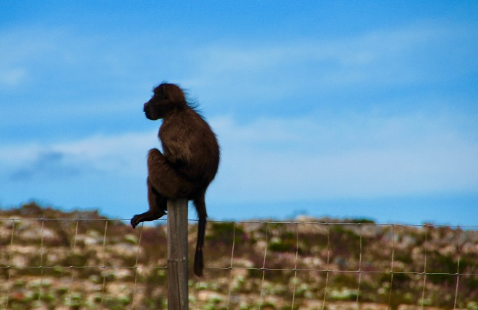 baboon-contemplating-the-cape-of-good-hope-nature-preserve-south-africa