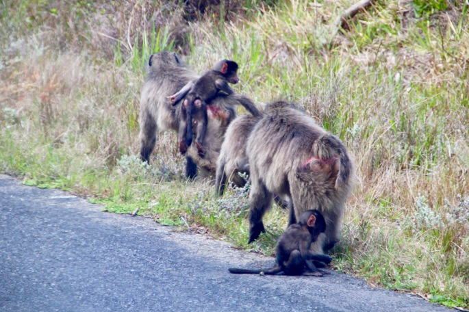 baboon-mothers-and-babies-along-the-side-of-the-road-in-south-africa