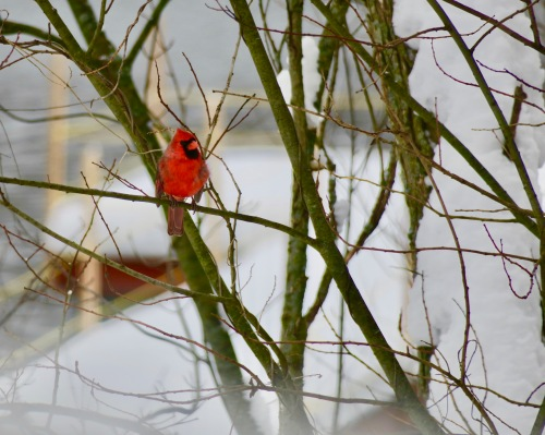 cardinal-in-the-snow-12-12-16