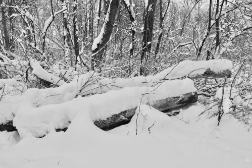 downed-trees-buried-under-snow-2-12-11-16