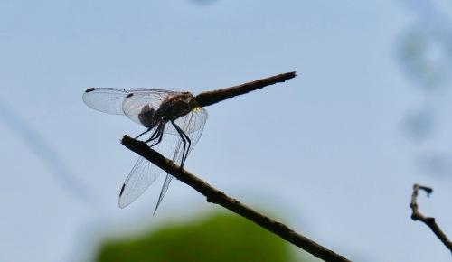 dragon-fly-near-victoria-falls-zimbabwe