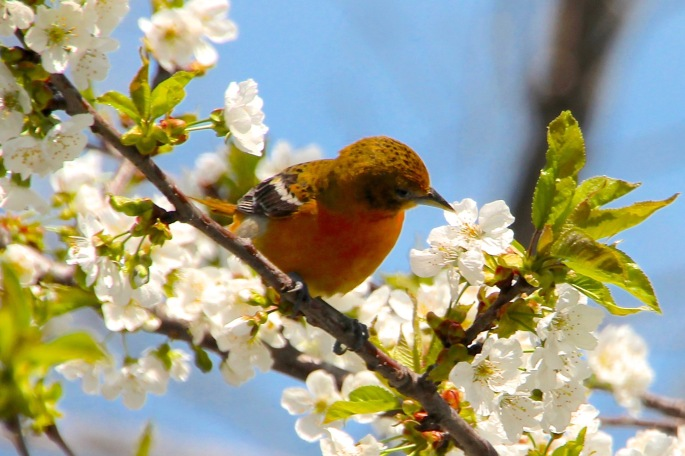 female-baltimore-oriole-in-our-cherry-tree-05-10-14