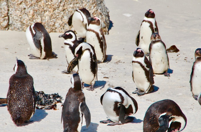 group-of-african-penguins-at-boulders-south-africa