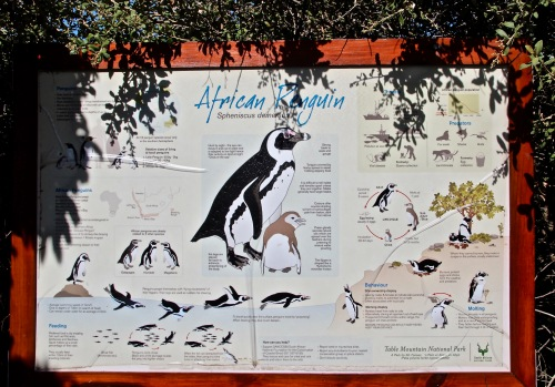 information-on-african-penguins-at-boulders-south-africa