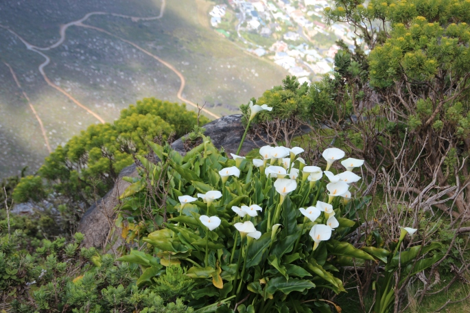 lilies-on-table-mountain