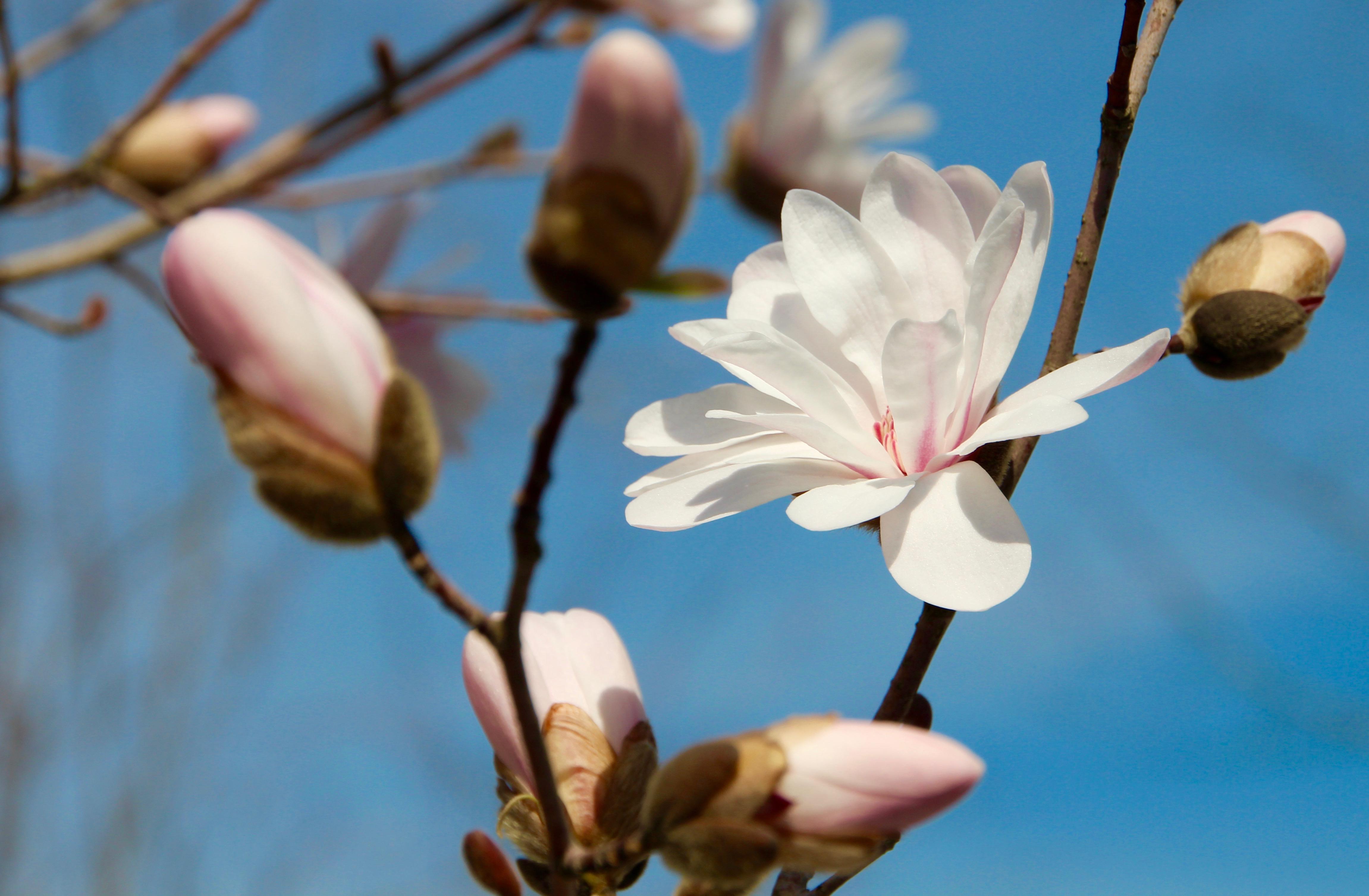 magnolia-blossoms