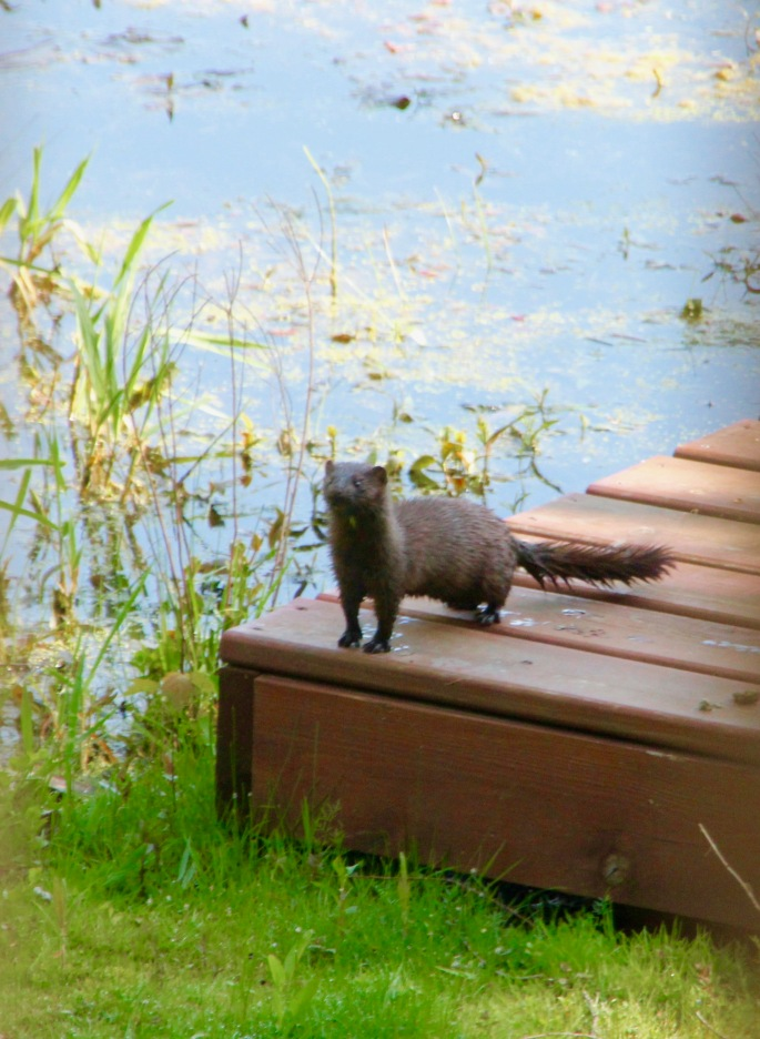 mink-on-our-dock