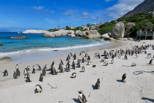 penguin-colony-and-african-penguins-at-boulders-south-africa