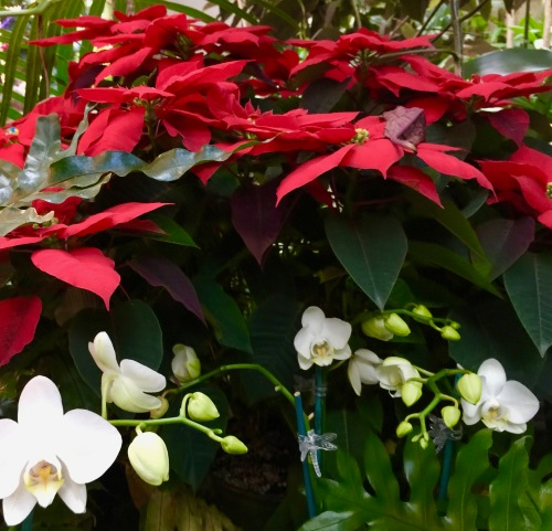 poinsettias-and-orchids-at-meijer-garden-mi