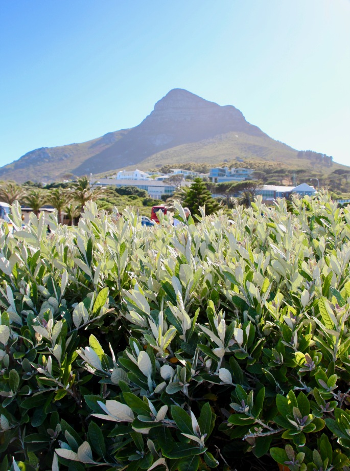 silvery-leaved-native-species-of-plants-in-cape-peninsula
