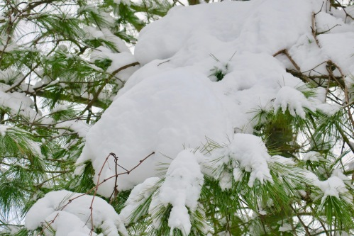 snowy-evergreens