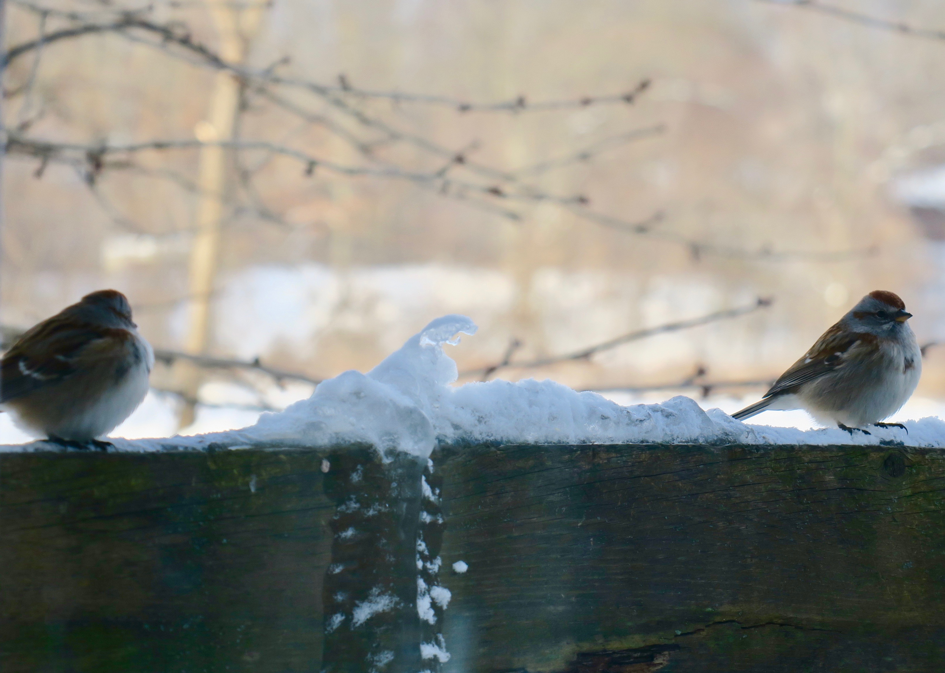 sparrows-sitting-on-rail-in-winter