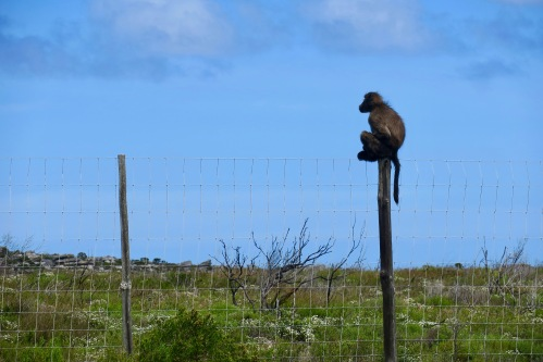 baboon-on-a-post-in-south-africa-oct-28-16