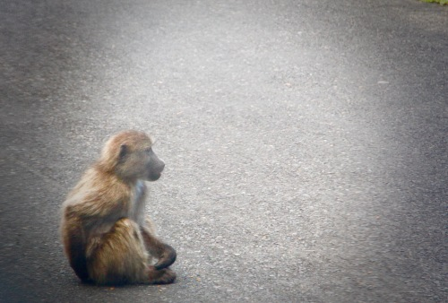 baboon-sitting-on-highway-in-union-of-south-africa