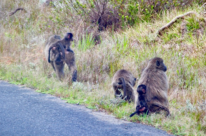 baboons-along-chapmans-highway-south-africa