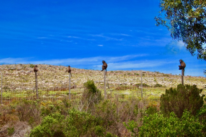 baboons-on-posts-at-cape-of-good-hope-nature-reserve