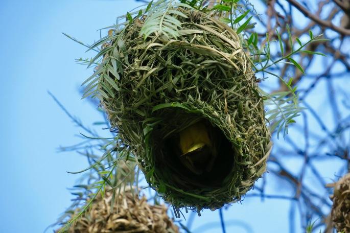 cape-weaver-bird-in-nest