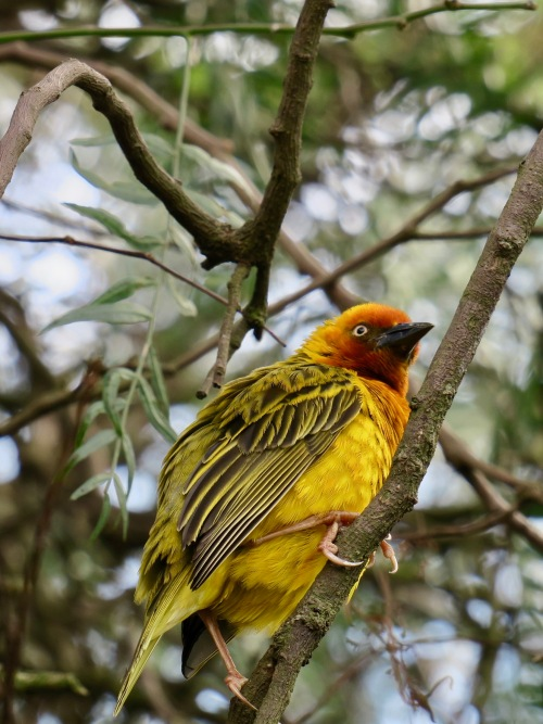 cape-weaver-bird-in-tree