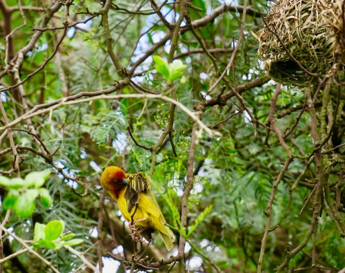 cape-weaver-bird-s-a-11-2-16