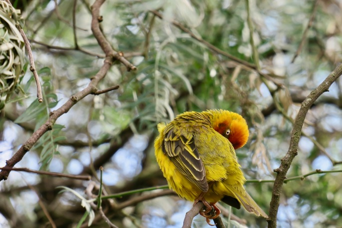 cape-weaver-bird-south-africa