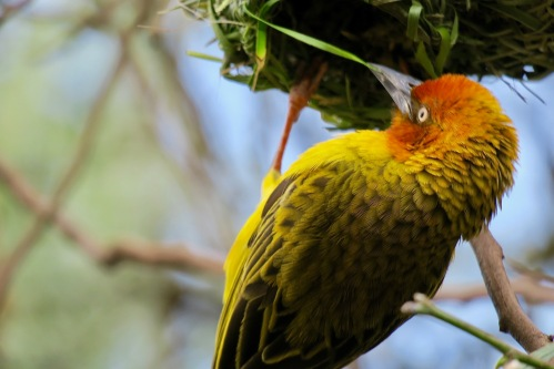 cape-weaver-bird-weaving-with-his-beak-using-grass