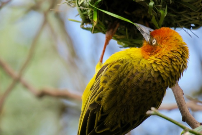 cape-weaver-bird-weaving-with-his-beak-using-grass