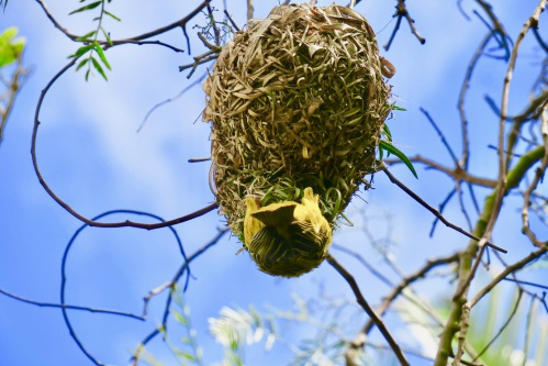 cape-weaver-bird-with-nest