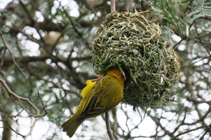 cape-weaver-birds-south-africa