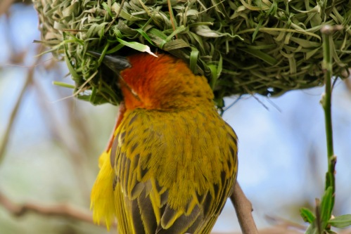 cape-weaver-making-nest