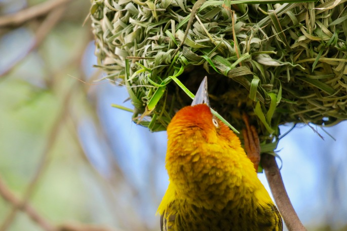 cape-weaver-weaving-his-nest