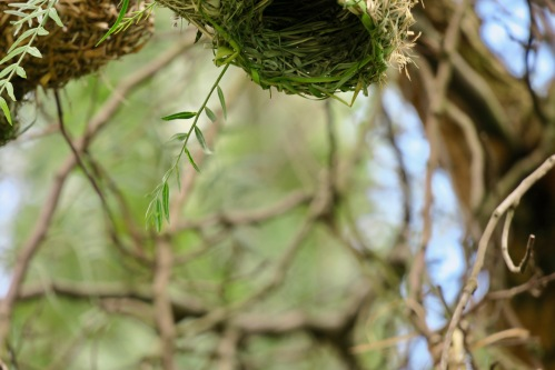 empty-nest-of-african-cape-weaver-bird-11-2-16