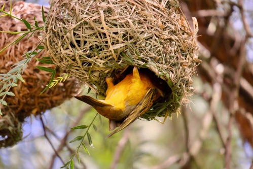 father-cape-weaver-bird-helps-feed-young