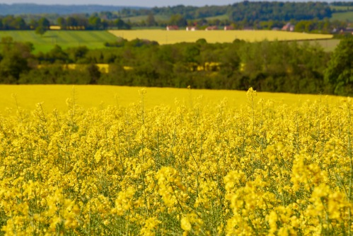 field-of-rapeseed-near-mont-saint-michel-france-05-14-16