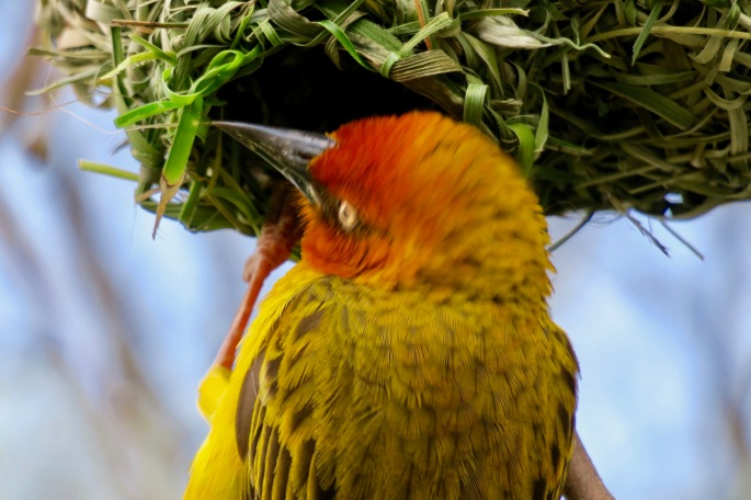 intricate-nest-of-cape-weaver-bird