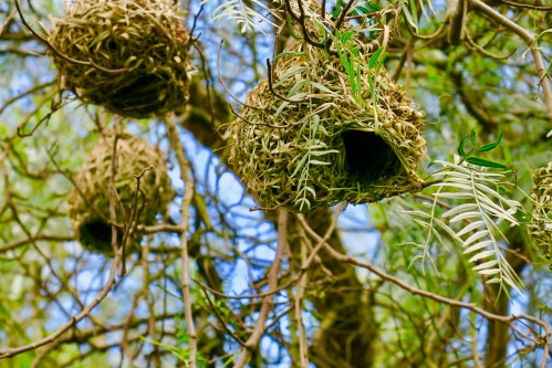 kidney-bean-shaped-cape-weaver-bird-nest