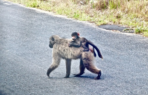 mother-baboon-and-baby-on-chapman-highway-south-africa