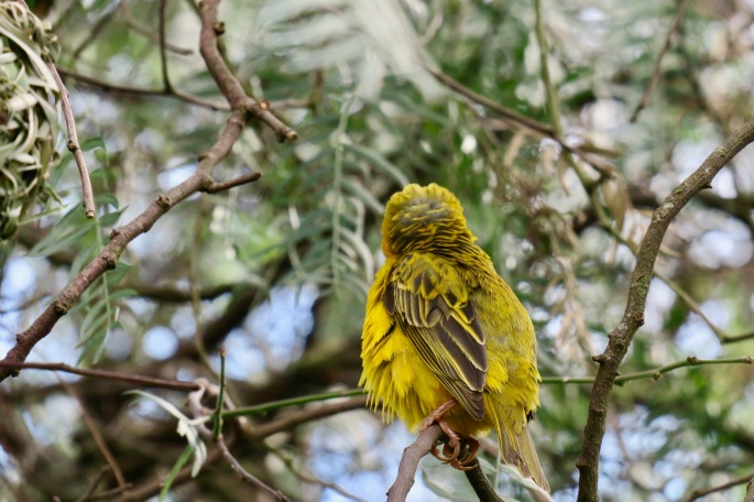 olive-drab-back-of-weaver-birds