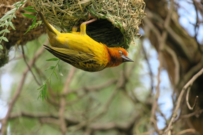 ploceus-capensis-african-weaver-bird-hanging-upside-down