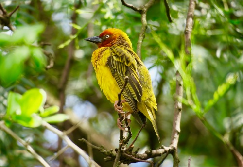 ploceus-capensis-african-weaver-bird-in-tree