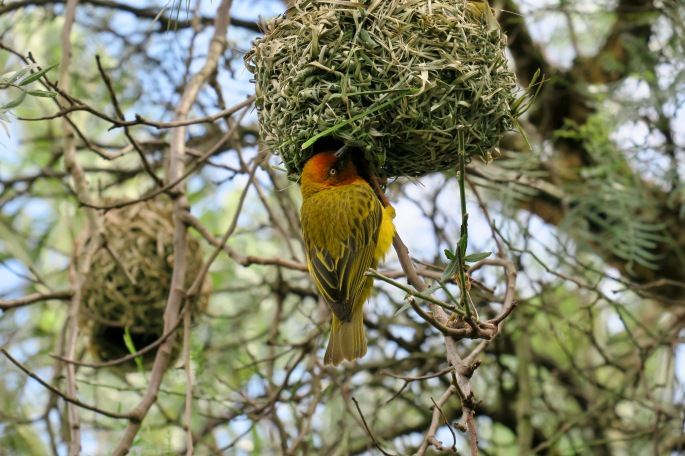 ploceus-capensis-african-weaver-bird-making-nest