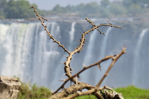 thorns-in-front-of-victoria-falls-as-seen-from-zambezi-national-park-zimbabwe