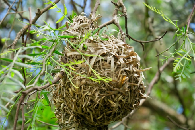 unused-nest-of-cape-weaver-bird