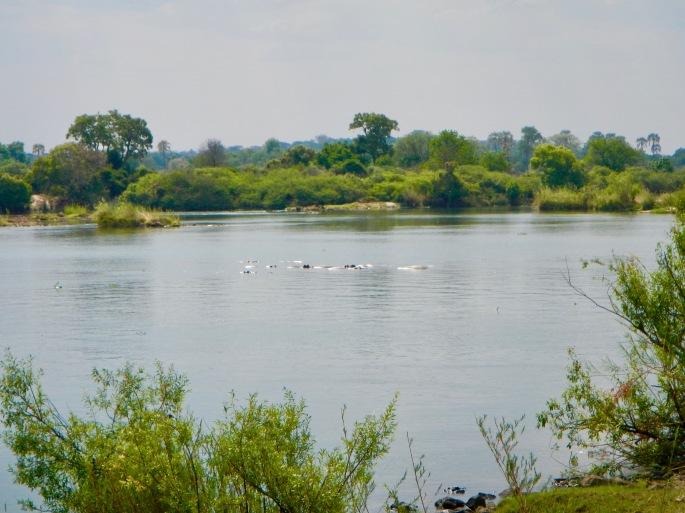 view-of-hippos-on-zambezi-river-from-royal-livingstone-hotel-zambia