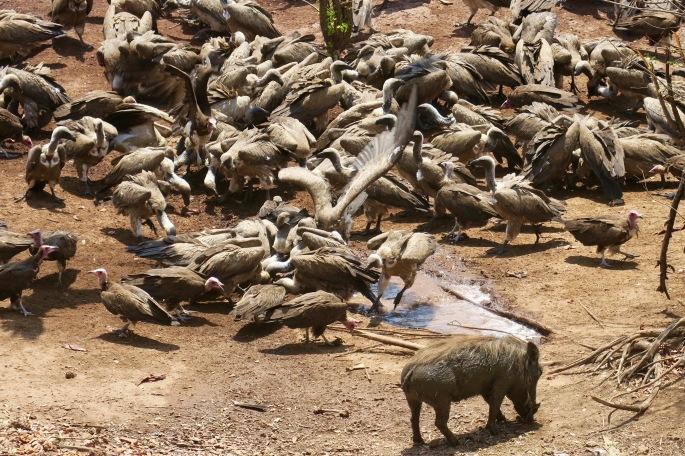 vulture-feeding-frenzy-victoria-falls-lodge-zimbabwe
