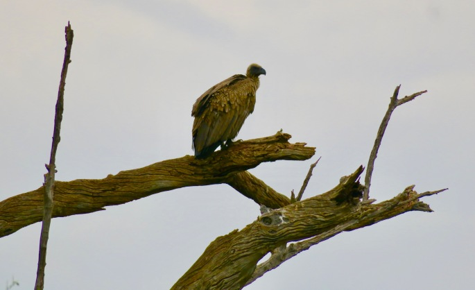 vulture-high-on-a-snag-chobe-national-park