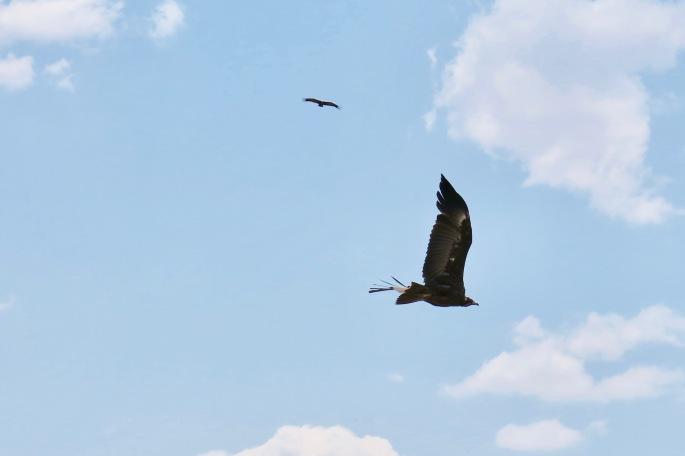 vulture-in-flight-african-birds