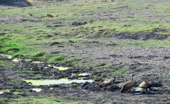 vultures-drinking-water-chobe-national-park-11-10-16
