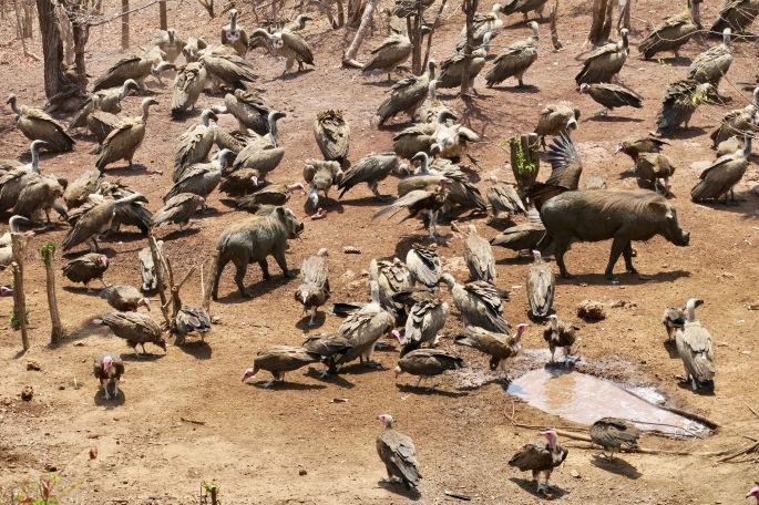 vultures-eating-at-victoria-falls-safari-lodge